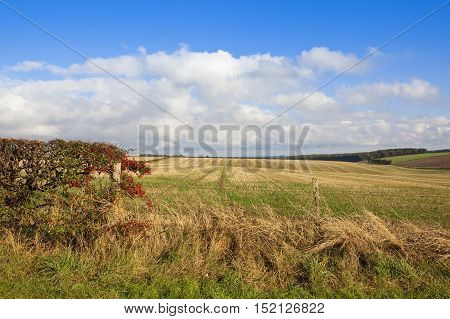 Red Berries And Straw Stubble