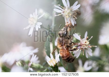 A single honey bee feeding on wild flowers in the early morning. Extreme shallow depth of field with selective focus on bee.