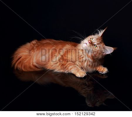 Female Red Solid Maine Coon Cat Curiously Looking Up With Reflection In Glass Down On Black Backgrou