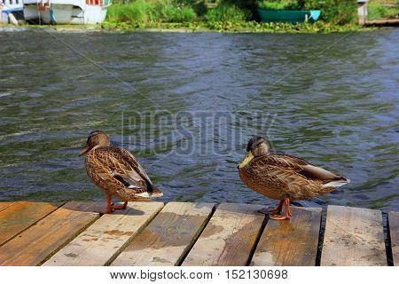 two brown ordinary mallard walk on the wooden pier on the river closeup foreground