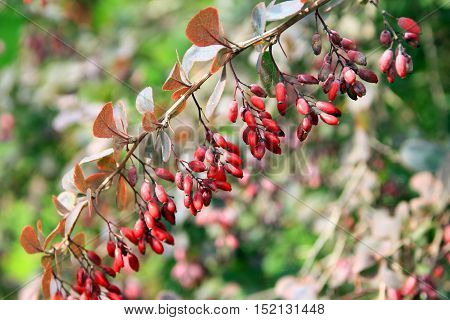 branch of barberry with small ripe red berries barberry closeup in summer