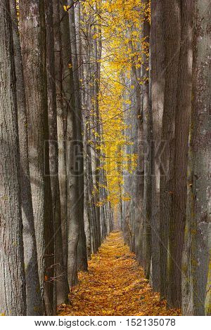 Autumn alley strewned with yellow leaves photo