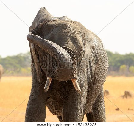 Elephant with trunk wrapped around head in Hwange reserve,