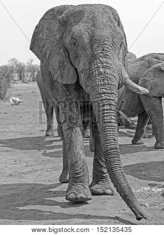 Isolated large bull elephant taken from below