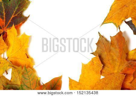 Autumn Multicolor Maple Leaves
