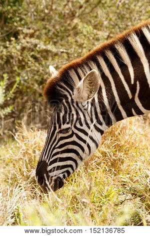 Close Up Of A Burchell's Zebra Eating