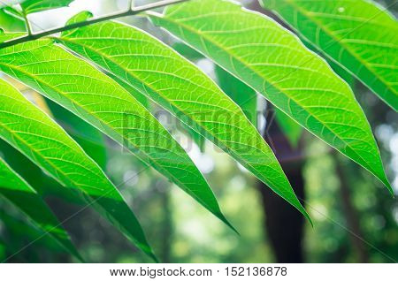 Branch Ailanthus With Narrow Leaves