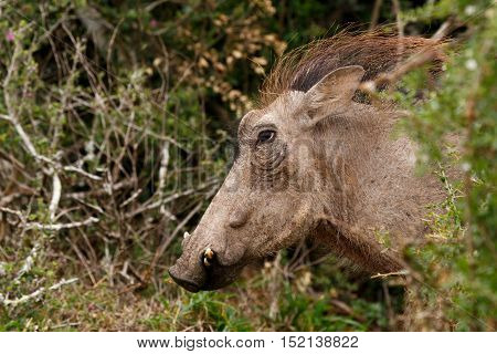 Hairy Warthog Coming Out Of The Bush