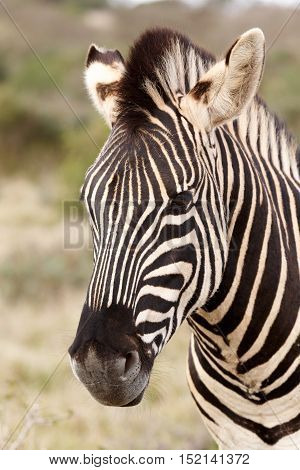 Close up of a Burchell's Zebra with mane standing in the field.