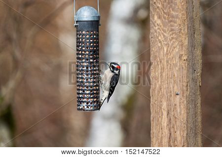 a Downy Woodpecker and feeder close up