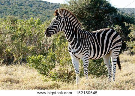 Beautiful Burchell's Zebra Standing In A Field