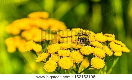 Honeybee on yellow flower in the summer meadow selective focus. Beautiful green field landscape