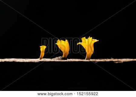 Low Key And Macro Photo Of Fresh Yellow Mushroom Growing In The Cracks Of The Wood Rotting. Another