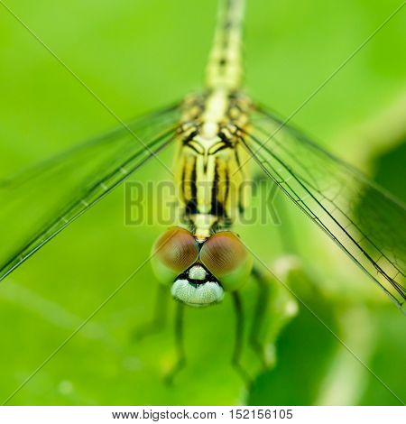 Macro Photo Of Dragonfly On Leaf, Dragonfly Is Insect In Arthropoda Phylum, Insecta, Dragonfly Are C