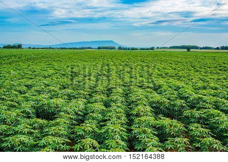 Cassava plants growing with the blue sky.