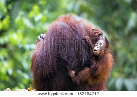 Baby orang-utan holding on to its mother while pulling a funny face in their native habitat. Rainforest of Borneo.