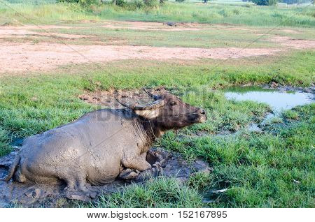 Buffalo wallow in the mire sleep happily. Life was slow in the morning