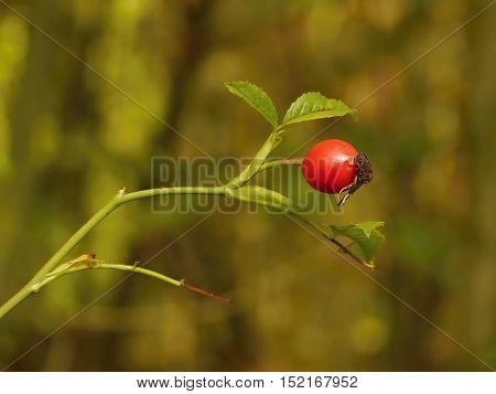 Rosehip red fruit. On blurred background in morning light