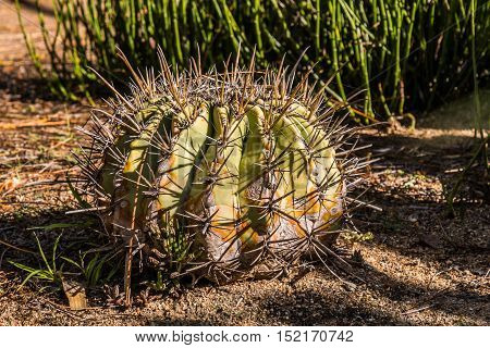 Barrel-shaped cactus plant in garden with large thorns.