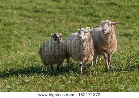 Three Sheep (Ovis aries) Move Forward - at sheep dog herding trial
