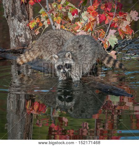 Two Raccoons (Procyon lotor) Elbows Deep in Water - captive animals
