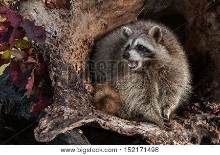 Raccoon (Procyon lotor) Looks Left and Cries - captive animal
