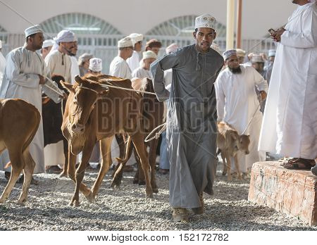 Nizwa Oman October 13th 2016: cow action of Nizwa