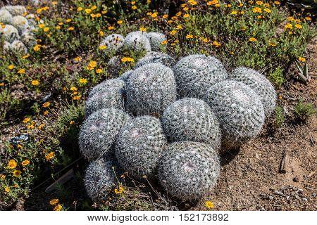 Owl's Eye Pincushion cactus plant, native to Mexico