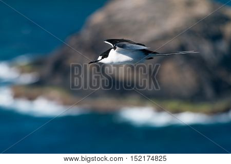 Side view of Sooty Tern (Sterna fuscata) flying over cliffs on Lord Howe Island