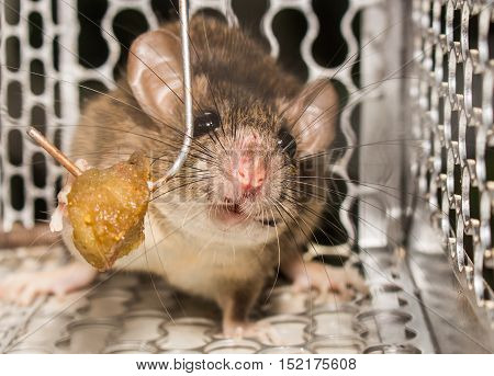 Close up Sadness rat in mousetrap or spring-trap