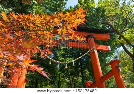 Autumn foliage of Japanese maple leaves with crimson Torii gate on the background. Shiogama Shinto Shrine entrance. Fujiyoshida Yamanashi Prefecture Japan