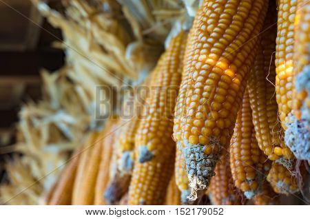 Dried corncobs with yellow kernels visible hanging in a barn. Agriculture product scene. Close up selective focus shallow DOF