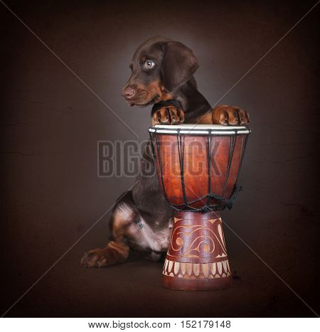 Beautiful brown Doberman puppy plays the drums in the Studio. The best dog for the protection of the family