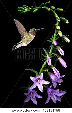 Hummingbird with purple flower over black background vertical image