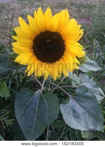Single Sunflower Closeup from the Sunflower Garden