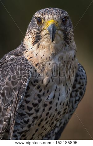 An upright close up portrait of a hybrid falcon looking directly forward. A cross between a peregrine and saker falcons.