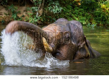 Young indian elephant bathing. Lake in tropical rainforest.