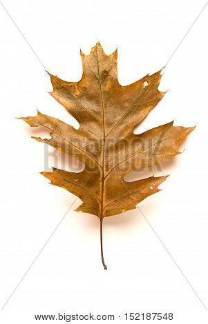 Fallen autumn leaf of a oak tree on over white