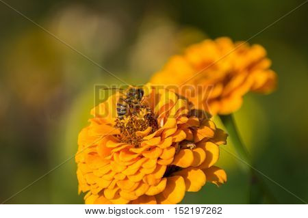 A bee collects the nectar of flowers and spread fertile pollen