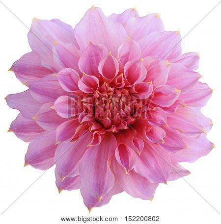 Dahlia flower white background isolated with clipping path. Closeup. with no shadows. Macro. Nature. Pink.