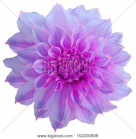 Dahlia flower white background isolated with clipping path. Closeup. with no shadows. Macro. Nature. Purple.