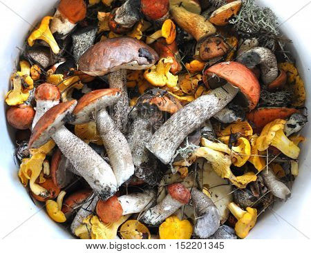 A lot of different edible mushrooms chanterelles and boletus in white bowl with water. View from above.