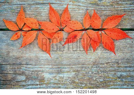 Red autumn leafage of wild grape on gray wooden table