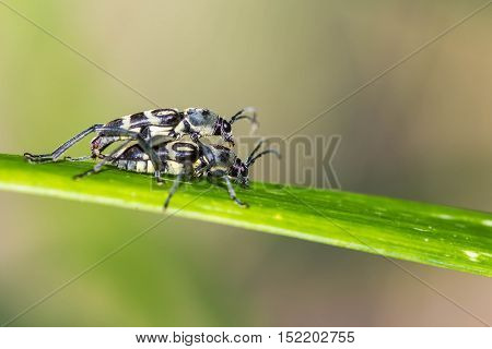 little insect mating on green leaf on nature background