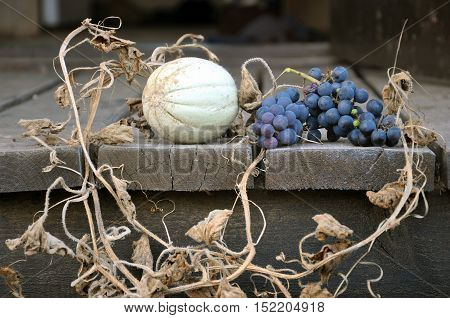Autumn Still Life. Dwarf green melon with dry leaves and stems and twig of purple grapes on a wooden surface.