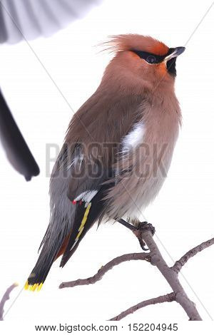 Bohemian Waxwing isolated on white, studio shot