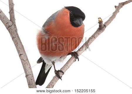 male bullfinch on a white background/ studio