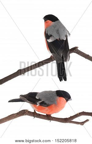 two male bullfinch on a white background. studio
