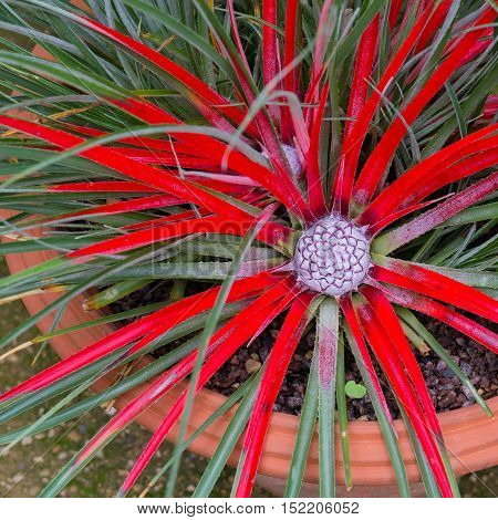 Bromelia Humilis Red-coloured With Inflorescence
