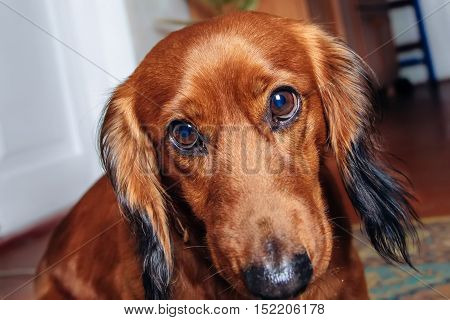 pet portrait dog breed dachshund. portrait studio